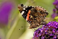 Admiral auf einem Schmetterlingsflieder
