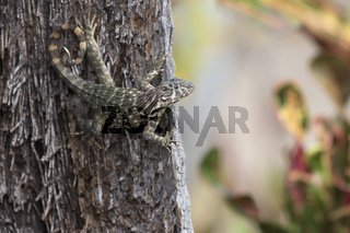 northern curly-tailed lizard that hangs on a tree trunk and looks ahead on a bright sunny day