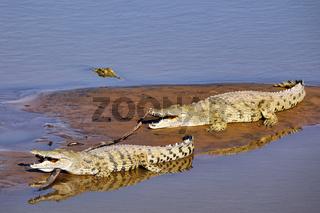 Nilkrokodile im South Luangwa Nationalpark, Sambia, (Crocodylus niloticus) |  nile crocodiles at South Luangwa National Park, Zambia, (Crocodylus niloticus)