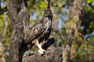 Crested hawk eagle, Nisaetus cirrhatus, Panna, Madhya Pradesh, India