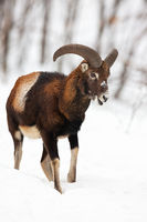 Male mouflon walking and chewing in winter forest covered in snow.