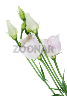 Indoor Easter spring  light pink  carnation flowers and  leaves isolated macro