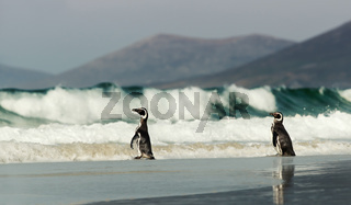 Magellanic penguins on a sandy coast