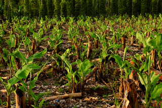 sapling in large banana field