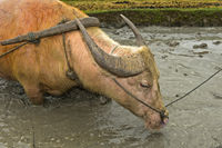 Wasserbüffel steht in einem Reisfeld, Laos