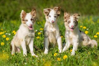 Drei Border Collie Welpen sitzen in einer Blumenwiese