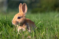 A Baby Bunny Plays on Green Grass