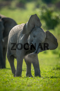 Young elephant enjoys dust bath shaking head