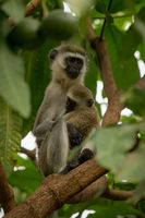 Vervet monkey mother holding baby in tree