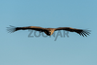 African white-backed vulture soars in blue sky