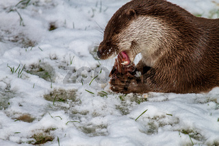 otter with stick meat while eating in the snow