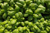 Fresh basil texture background.