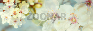 Blossoming cherry tree on light sky background in sunlight. Soft vintage pastel toned. Springtime sakura flower panorama . Copy space banner