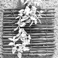 Black and white of fresh plant leaves over shabby bamboo decoration on wall