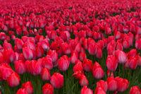 Feld mit Tulpen der Sorte Lady van Eijk, Bollenstreek, Niederlande