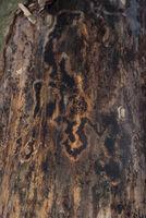Muster eines Borkenkäferschadens an Baumrinde - Hintergrund