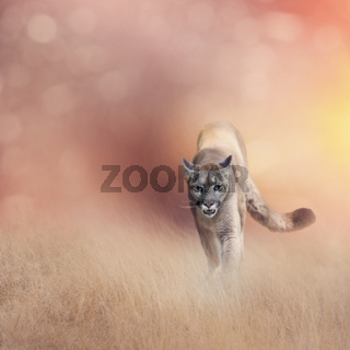 American cougar or puma in grassland