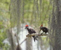 Two young Pileated Woodpeckers on a branch