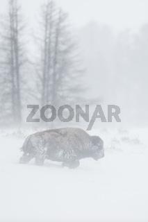 harte Zeiten...  Amerikanischer Bison * Bison bison * im Winter