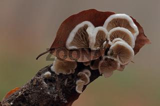 Stummelfuesschen (Crepidotus)