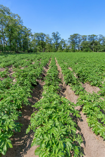 Potato field with rows of potato plants in Holland