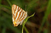 Common silverline butterfly, Cigaritis vulcanus, Hesaraghatta, Bangalore, Karnataka, India