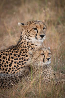 Close-up of cheetah and cub lying side-by-side