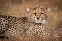 Close-up of cheetah cub lying in grass