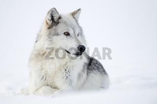 ein schönes Tier... Timberwolf * Canis lupus lycaon *