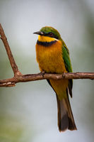 Little bee-eater perched on branch facing camera