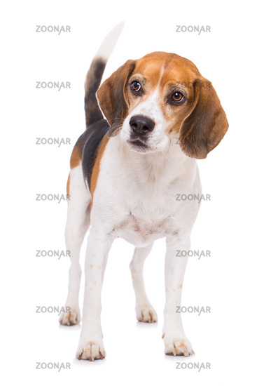 Adult beagle dog standing isolated on white background