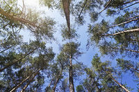 bottom view of the tops of pine trees