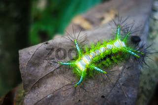 Stinging Slug Caterpillar, Taman Negara national park, Malaysia