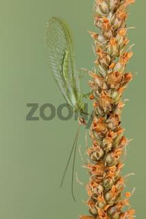 Florfliege_Chrysopidae