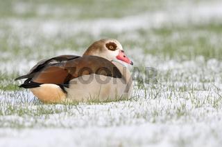 ruhend im Schnee... Nilgans * Alopochen aegyptiacus * auf Winterweizenfeld