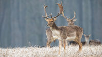 Herd of fallow deer in winter with frost covering dry grass in nature