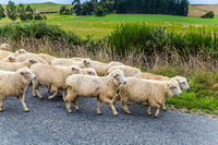 Huge herd of sheep is moving along the highway
