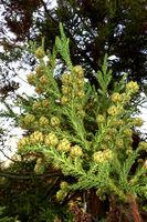Herbststimmung im Kurpark - Sicheltanne (Cryptomeria japonica), Sugi oder Japanische Zeder - Zweige und Zapfen