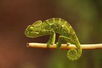 Indian Chameleon, Chamaeleo zeylanicus, Bandipur National Park, Karnataka, India