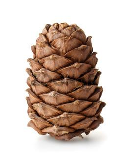 Single ripe pine cone