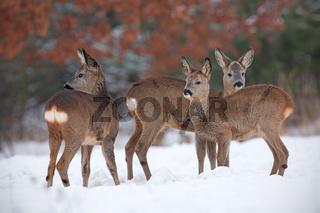 Roe deer, capreolus capreolus, herd in deep snow in winter.