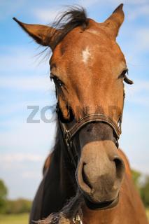 Portrait eines Pferd