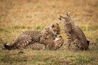 Cheetah cub sits while others play fight