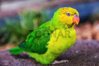 Rainbow Lorikeet Portrait