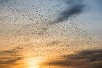 Vogelschwarm im herbstlichen Sonnenuntergang