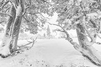 verschneite Kiefern, Dundret Naturreservat, Lappland