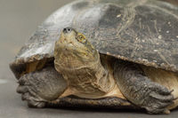 Close-up of turtle lying on grey path