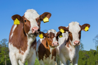 Three brown white calves with blue sky
