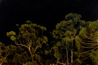 Big Tall Trees Over Black Sky Background