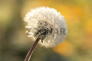 Dandelion in frost, hoarfrost on fluff of dandelion. Dandelion fluff in winter.